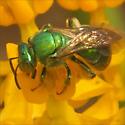 Genus Agapostemon - Metallic Green Bees, ID please - Agapostemon - female
