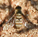 Hemipenthes Bee Fly - Chrysanthrax
