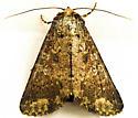 Moth ID - Condica confederata
