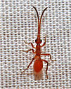 wingless female ichneumonid? - Polyaulon canadensis