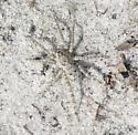 Spider ID request - Arctosa littoralis