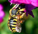 Female Wool Carder Bee? - Anthidium manicatum - female