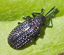 Unidentified Beetle - Microrhopala excavata