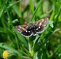 Moth species? - Heliothodes diminutiva