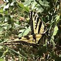 Western tiger swallowtail? - Papilio rutulus