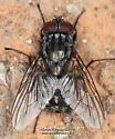Oestroidea - Muscina - male