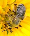 sunflower bee Melissodes sp.? - Melissodes trinodis