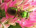Bee on Sedum - Augochloropsis metallica - female