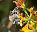Centris hoffmanseggiae - male