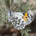 Butterfly IMG_4813 - Anthocharis sara - female