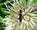 Rhopalophora - Rhopalophora meeskei