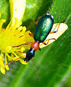 green, orange and black beetle - Calleida punctata