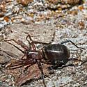 Unknown Spider - Castianeira longipalpa