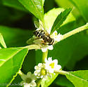 Hover Fly feeding on Winterberry blossoms...can you help id further? - Eupeodes volucris