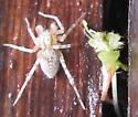 spider ID - Anyphaena