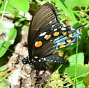 Pipevine Swallowtail? - Battus philenor - male