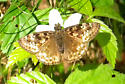 Butterfly ID - Erynnis horatius - female