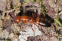 Ant - Camponotus snellingi