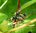 Thick-headed Fly - Physoconops obscuripennis - male - female