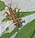 Perlidae, genus Paragnetina - Paragnetina