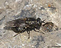 Soldier Fly? - Adoxomyia rustica - female