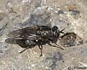 Soldier Fly? - Adoxomyia rustica