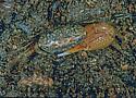 248305 crab - Uca