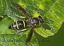 8031484 wasp - Ancistrocerus antilope