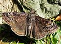 Butterfly 1 - Erynnis - male