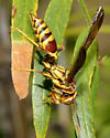 Unknown Wasp - Polistes exclamans