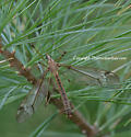 Crane Fly - Tipula valida - female