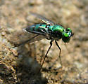 Long-legged Fly? - Condylostylus