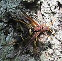 Hornet? - Tremex columba - female