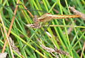 Dragonlet? Female - Erythrodiplax basifusca