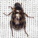 Shining Leaf Chafer Beetle - Anomala innuba