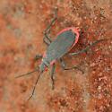 Black and Red Plant Bug - Jadera haematoloma