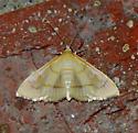 possible Neohelvibotys neohelvialis - Helvibotys helvialis