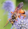 Orange & Black  Wasp - Sphex ichneumoneus - female