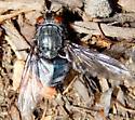 Oestroidea