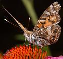 Butterfly - Vanessa virginiensis