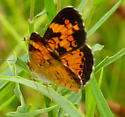 female Pearl Crescent? - Phyciodes tharos - male