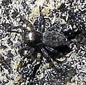 Jumping Spider - Hakka himeshimensis