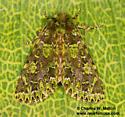 Paratrachea viridescens - female