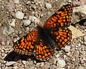North Tongue River, Campground, Bighorn Mountains - Chlosyne palla - male