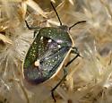 Sturdy stink bug - Chlorochroa sayi