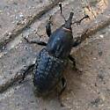 Coleoptera  - Sphenophorus cicatristriatus