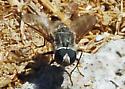 OC Bee Fly - Is this Aphoebantus?  - Aphoebantus - male