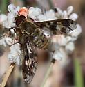 Bombyliid-Dipalta serpentina - Dipalta serpentina