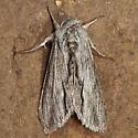 Noctuid? - Cucullia eulepis