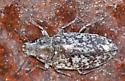 Broad-nosed Weevil?
